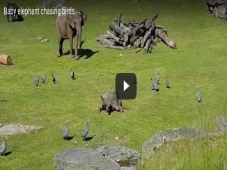 Cute Lovely Video of baby elephant chasing birds and falling down