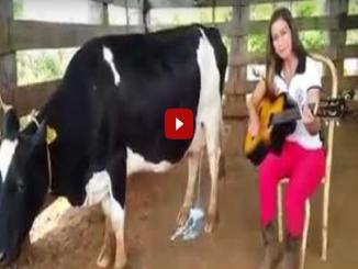Fact Check: Playing guitar for cow makes her leak milk, Is it true?
