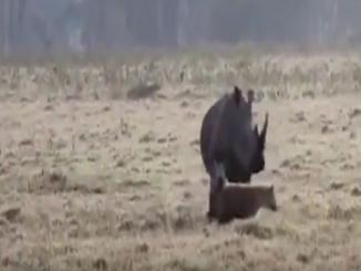 Wow video: Mother rhino protects calves from hungry hyenas Kenya