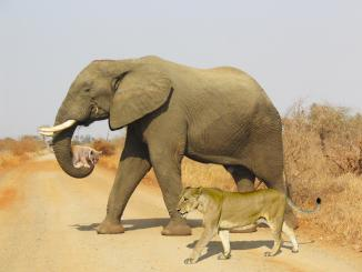 Kruger National Park: Did ELEPHANT HELPS LIONESS carry cub 2 KM