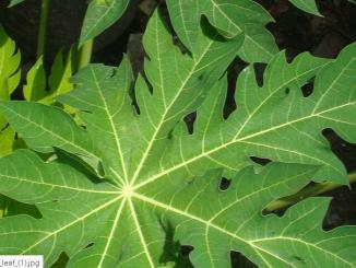 Do Papaya leaf or Caripill Cure Dengue?