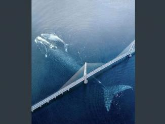 Image of Largest blue Whale on camera
