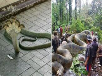World largest snake found in Amazon river, no it is photoshopped