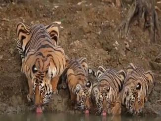 Tiger viral video: 4 tigers drinking water together
