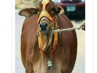Punganur cow Tirupati Temple that gives 100 liters of milk everyday