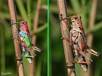 Rainbow Grasshopper from Costa Rica, is it real