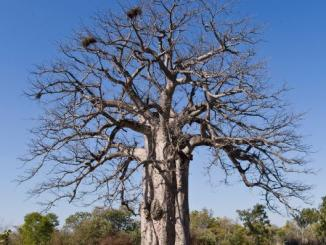 Facts check: World's Oldest Tree has been cut