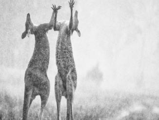 Australian wildfire Kangaroos Jumping in Rain after Shower is Fake