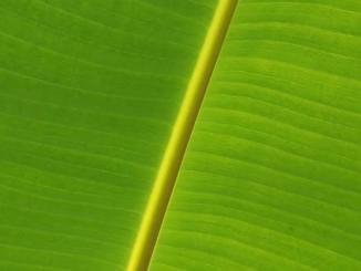 Can we use fresh banana leaf for bed sores, banana leaves fake news
