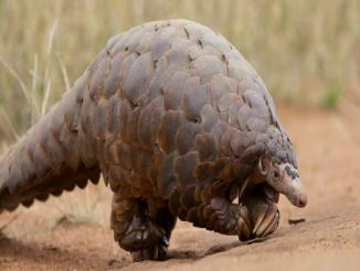China scientists identify pangolin possible coronavirus host, not true