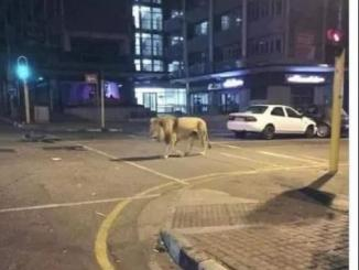 Did Putin left 800 lions on Russian streets to ensure lockdown