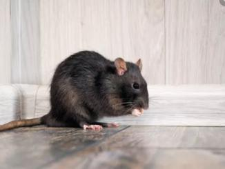 Is Hantavirus a new deadly virus like Corona virus