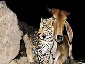 Cow and leopard friendship From Assam, Gujarat to different parts of India