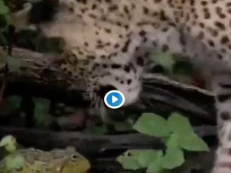 /trending/unbelievable-fight-between-a-frog-leopard-and-see-who-wins-15904.html