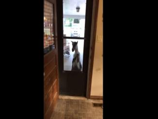 Knock Knock: Neighbors Goat Knocks on Door and Comes Inside