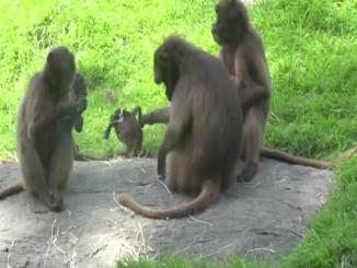 Lol: Mother Monkey Holds Baby By the Tail